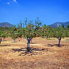 Apple Orchard by CarolM