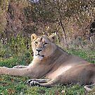 Lioness by Declan Carr