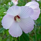 Wild Rose Mallow by Lynn Gedeon