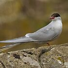 Arctic Tern by M.S. Photography/Art