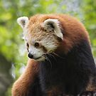 Red Panda by M.S. Photography/Art