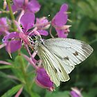 The Cabbage White Butterfly by MagsWilliamson