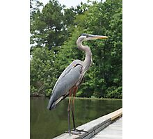 close up Great Blue heron Photographic Print