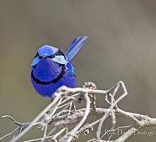 The Splendid Wren by Rick Playle