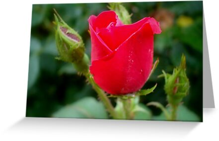 Rosebud Shot 7 by ctheworld