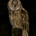 Long Eared Owl (Asio otus) - VIII by Peter Wiggerman