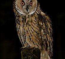 Long Eared Owl (Asio otus) - VIII by Peter Wiggerman