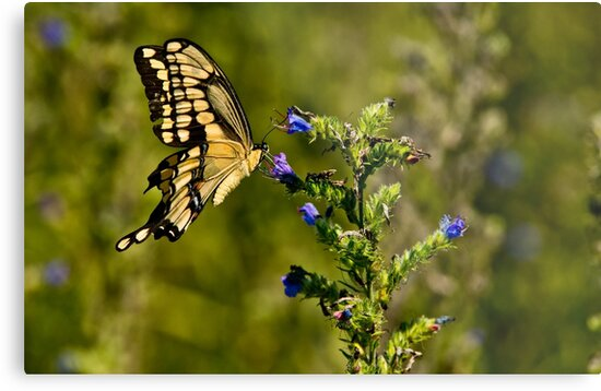 Giant Swallowtail by Michael Cummings