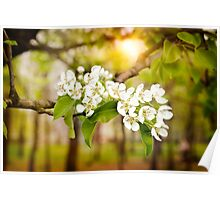 Nice Pear Tree Flowers Poster