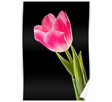 Red Tulip on Black Background Poster
