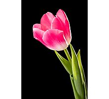 Red Tulip on Black Background Photographic Print