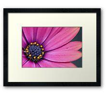 Purple Osteospermum (daisy) flower Framed Print