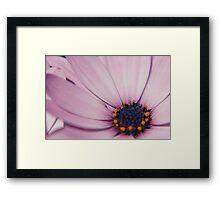 Light Purple Osteospermum (daisy) flower Framed Print