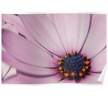 Light Purple Osteospermum (daisy) flower Poster