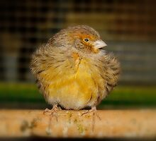 All Fluffed Up - Canary by AnnDixon