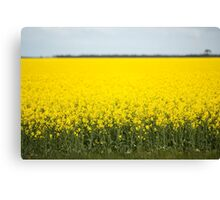 Field of canola plants Canvas Print