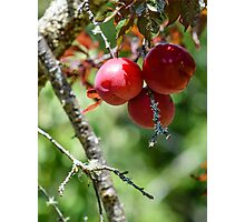 Plum harvest Photographic Print