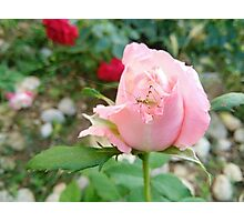 Rose Rose with bug Photographic Print