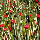 Red Poppies In A Cornfield by taiche