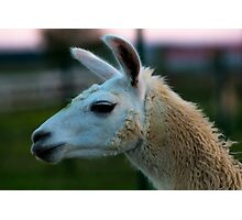 Lama  Photographic Print