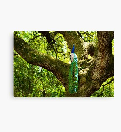 Peacock in Old Oak Tree Canvas Print