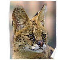 Serval Cat Poster