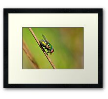 Blowfly Framed Print