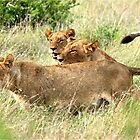 TRIPLE TROUBLE - THE LION - – Panthera leo - LEEU by Magaret Meintjes