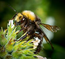 Bumble Bee by RandyHume
