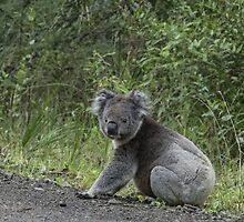 Koala | Blanket Bay by Tess Mitchell