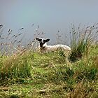 Irish Sheep by Shulie1