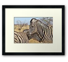 Zebra Love - Wildlife Background from Africa Framed Print