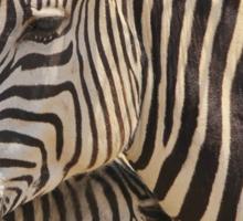 Zebra Love - Wildlife Background from Africa Sticker