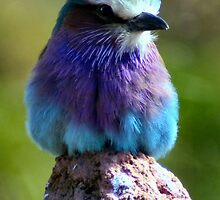 Pretty Little Bird 2 (Lilac Fronted Roller) by Yampimon