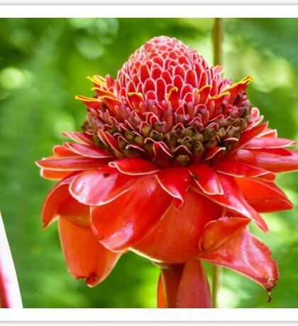 Red Torch Ginger Flower Sticker