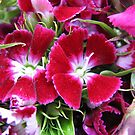 Dreamy Dianthus by BlueMoonRose