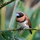 Chestnut-breasted Mannikin  by Chris  Randall