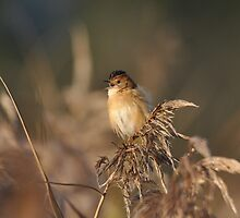 The Golden-headed cisticola by TootgarookSwamp
