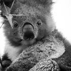 Koala by Natalie Ord