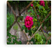 Rose and wire Canvas Print