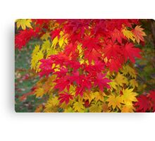 Scarlet and gold autumn maple leaves Canvas Print