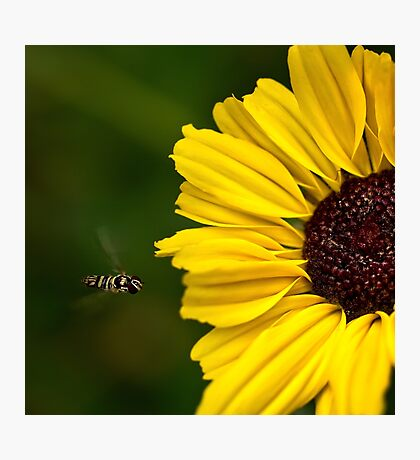 Sunflower landing strip Photographic Print