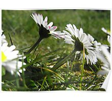 Daisies looking skywards Poster