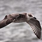 Young Lesser Black-backed Gull In Full Flight by Jo Nijenhuis