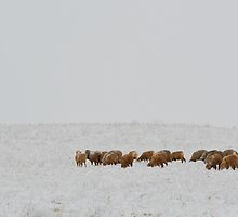 Cold Crookwell Merino by candysfamily