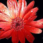 Glamorous Gerbera Daisy by Rosemary Sobiera