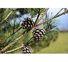Pine Cones In Spring Photographic Print