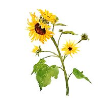 sunflower watercolor painting  Photographic Print
