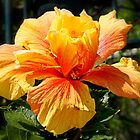 Red & Gold Hibiscus by AnnDixon