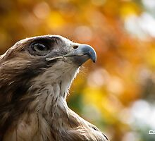 Bailey the Red-tailed Hawk by InRC